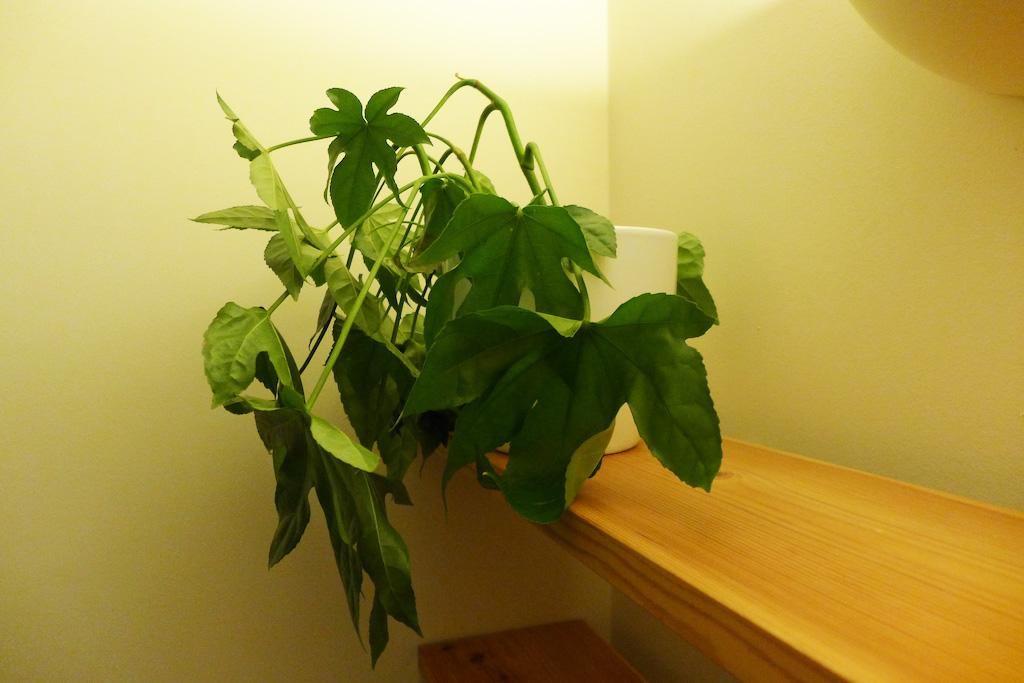 Drooping house plant