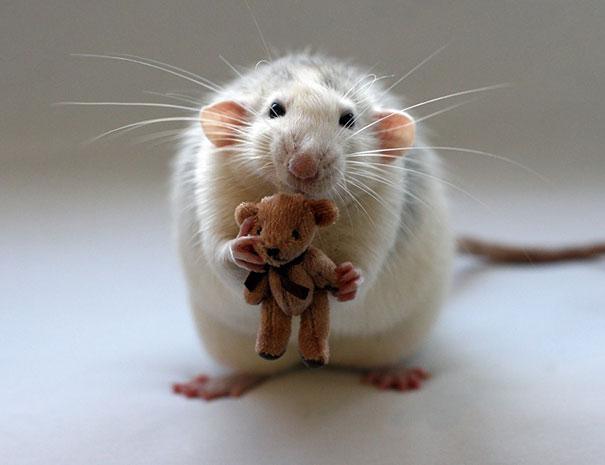 Rat and teddy bear